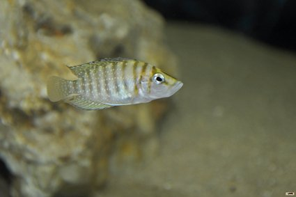 Altolamprologus-calvus-MKamba-bay-femelle