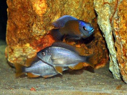 Copadichromis-borleyi-en-trio1