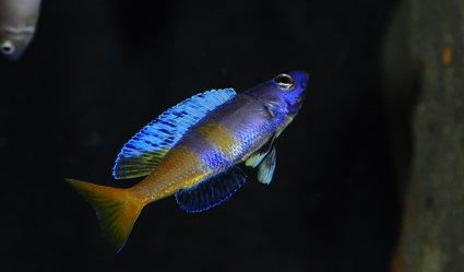 Cyprichromis-leptosoma-jumbo-Kitumba-1