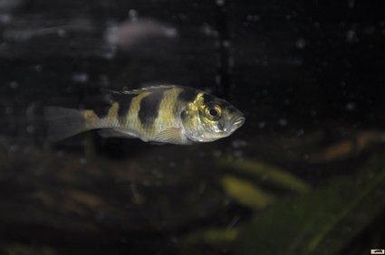 Haplochromis-latifasciatus-femelle dans VICTORIA