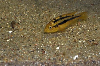 Haplochromis-rock-kribensis-Mwanza-north1