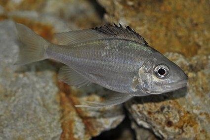 Optalmotilapia-nasuta-Sibwesa-femelle