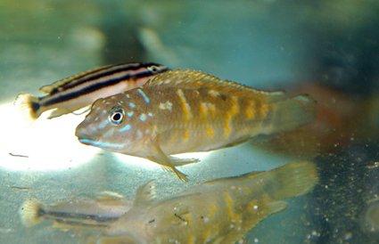 Tanganicodus-Irsacae-Burundi1 dans TANGANIKA